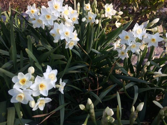 スイセンの花が咲き始めました。