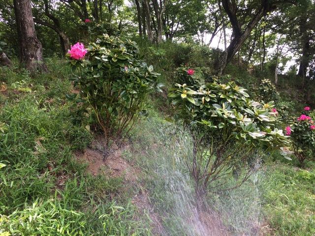 石楠花への水遣り