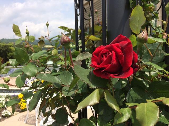 薔薇の運命(さだめ)
