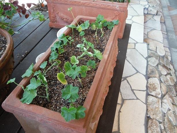 色々な植物で挿し木をしています!