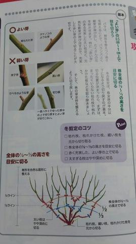 木立性バラの剪定・誘引作業中! 【剪定編】