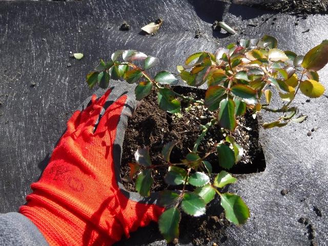 フラワーカーペットローズ植栽