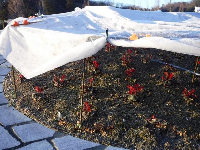 ガーデンシクラメンの防寒対策②