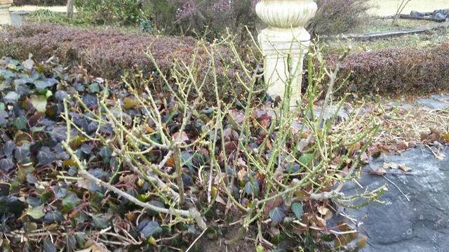 木立性のバラから芽が出て来た!