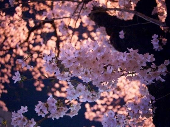 桜開花予報