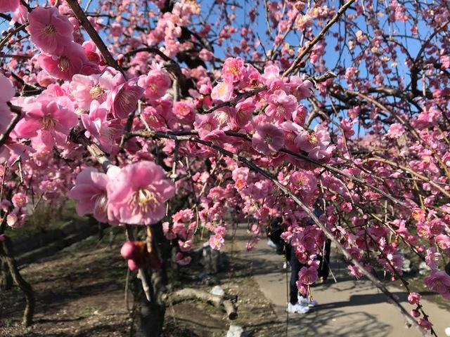いなべ市 梅林公園  〜梅の香りに誘われて〜