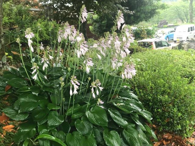 ギボウシ 雨中に咲く
