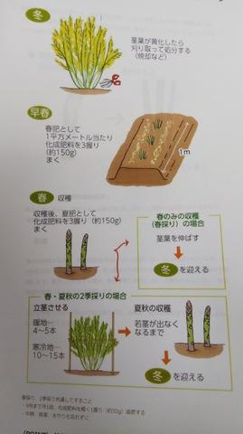 野菜の栽培管理中♪ 〜アスパラガス編 ②〜