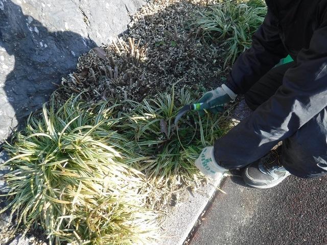 ヤブランの葉切り作業