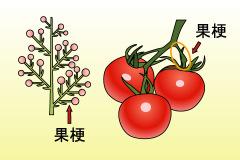 果梗(かこう) | 園芸(ガーデニング)...