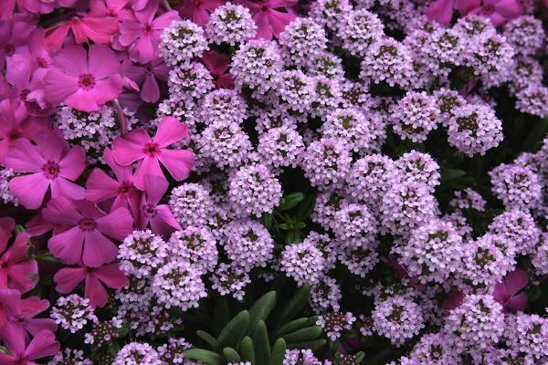 見ごろな花情報 - シバザクラとクリーピングタイム