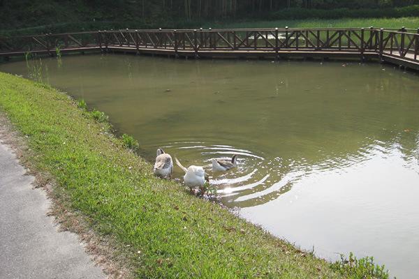 4番ホール 蓮池のシナガチョウ