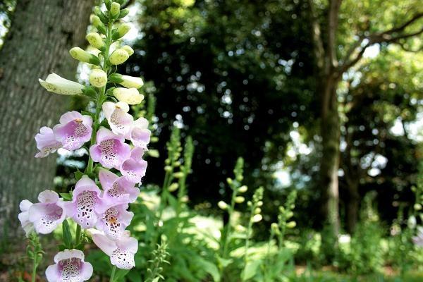 ジキタリス群生地 咲き始め