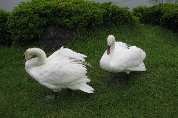 5番ホール池の白鳥