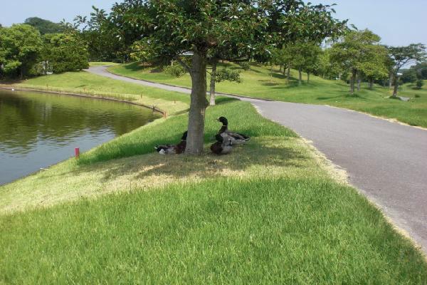 木陰で休憩するカモ
