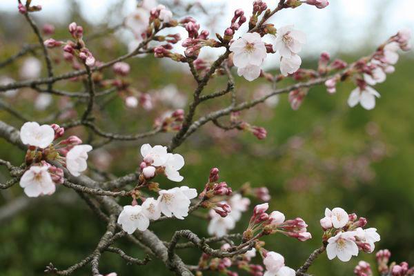 ソメイヨシノ 一分咲き
