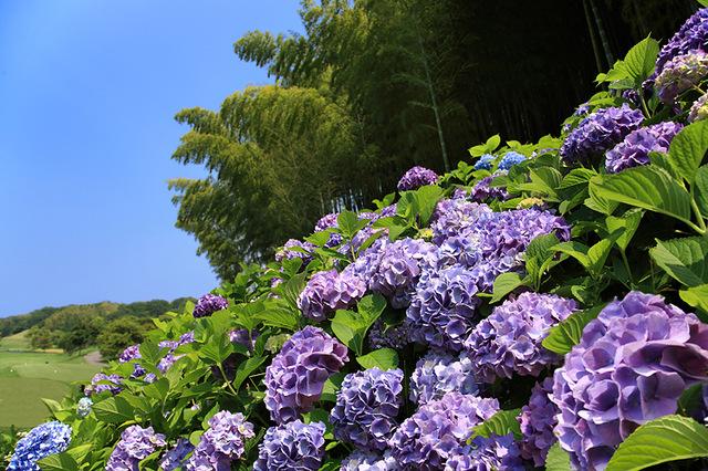 ★紫陽花オープンコンペ開催★