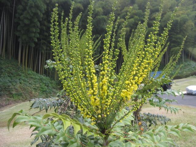 ヒイラギ ナンテンの花