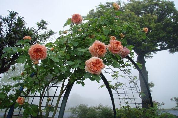 バラの季節到来です。