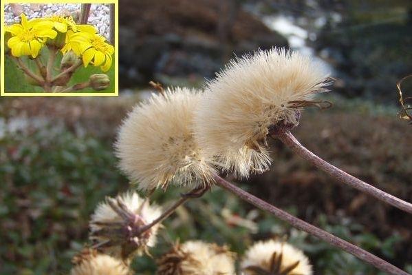 黄色い花を咲かせたツワブキくん。今は・・・。