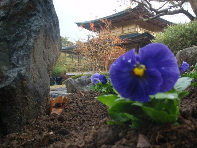 晩秋に花壇から金閣寺を望む