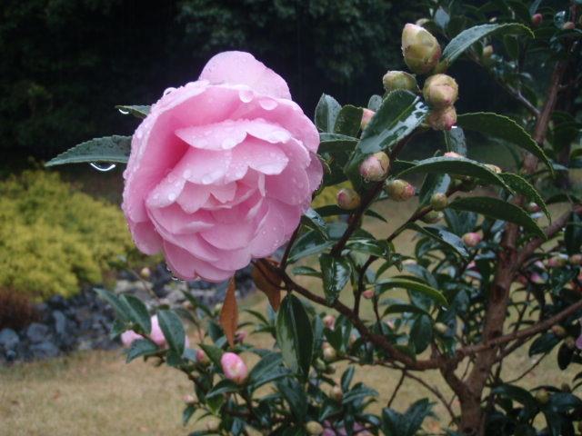冷たい雨に咲く花は