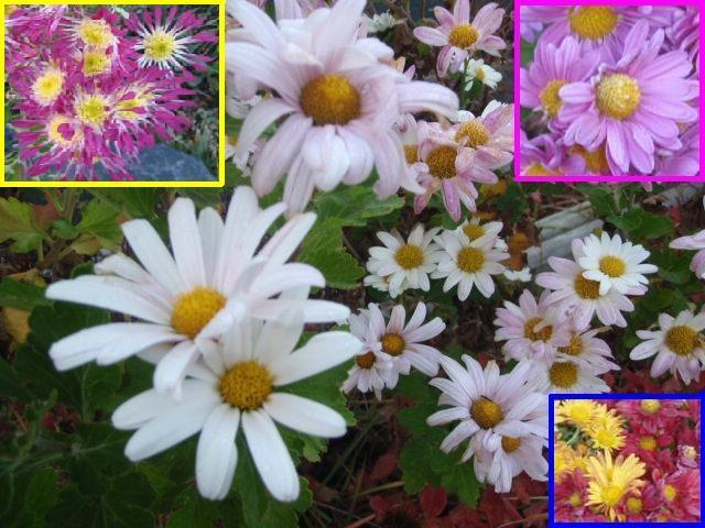 今が見頃の花々!!  <キク>