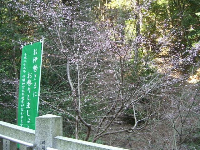多度大社境内に山桜が咲き始めていました