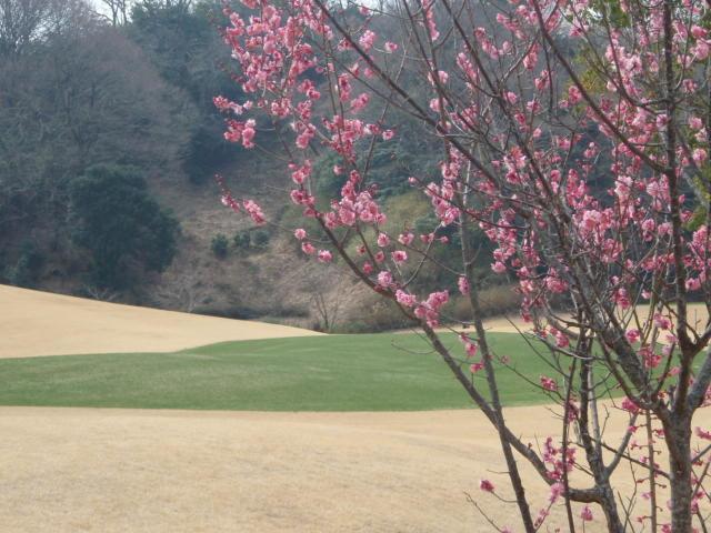 梅の花越しにオーバーシードを望む