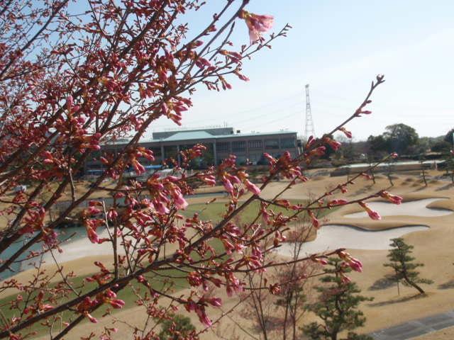 寒緋桜の花に春を想う・・・
