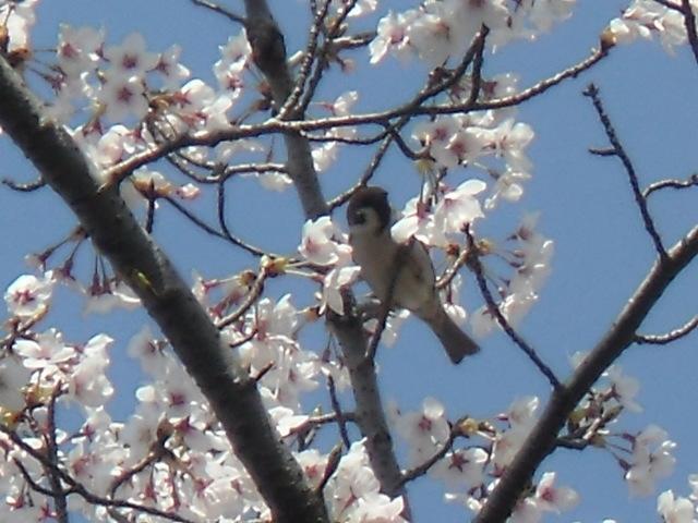 桜にすずめ