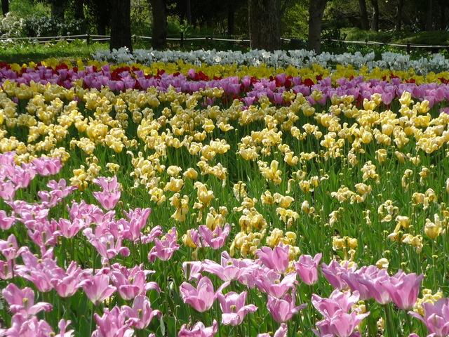 木曽三川公園チューリップ祭り 〜旅行ブログ〜