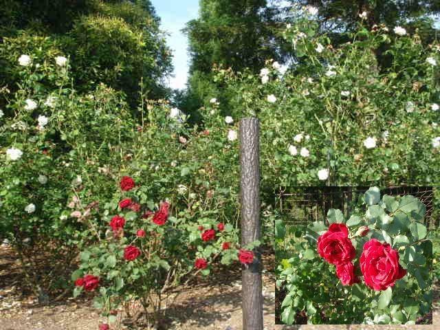 東建多度「薔薇の薗」
