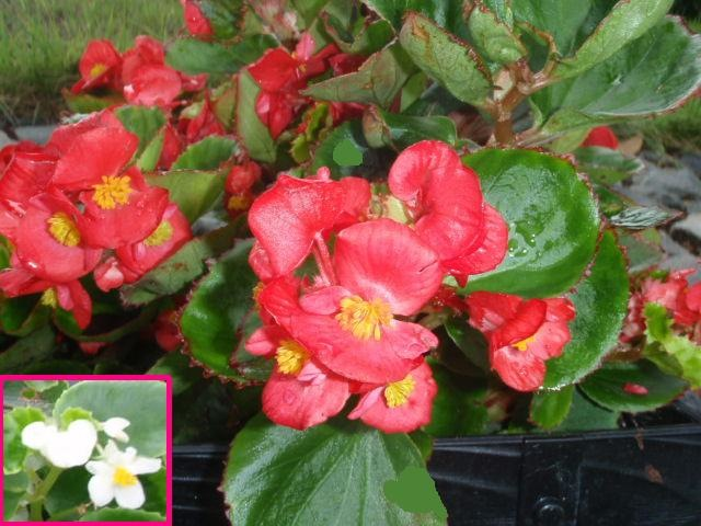 今が見頃の花々!  <べゴニア>