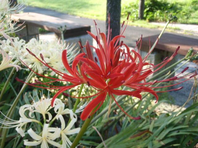 この時期の花と言えば…  <ヒガンバナ>