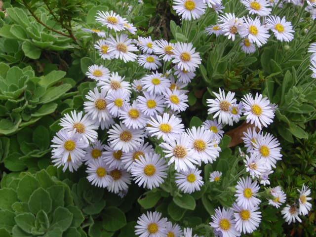 今が見頃の花々!  <ダルマギク>