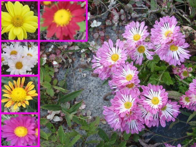 今が見頃の花々!  <キク>