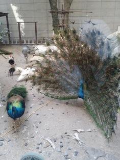 中庭の孔雀を、ご覧になられましたか?