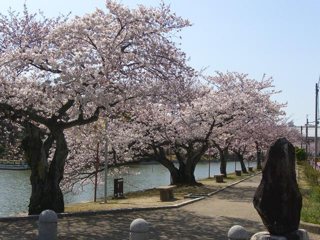 桑名市桜の名所 九華公園!!