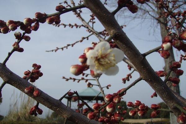 梅ちゃん開花です。