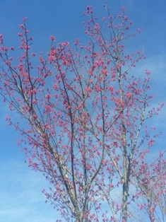 2番ホールの『河津桜』です。