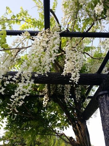 今朝の「藤の花」