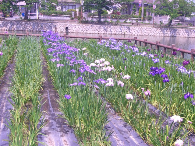九華公園 花菖蒲まつり