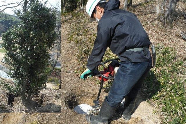ツゲの木の植栽作業