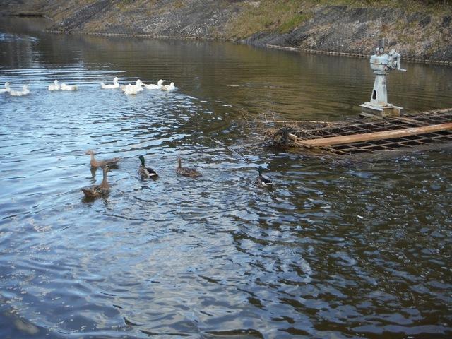 白鳥の池に新しく仲間入りしました。
