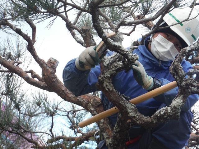松のコケ取り作業