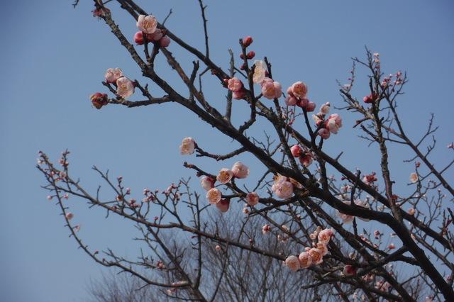 梅の花に春を想う・・・
