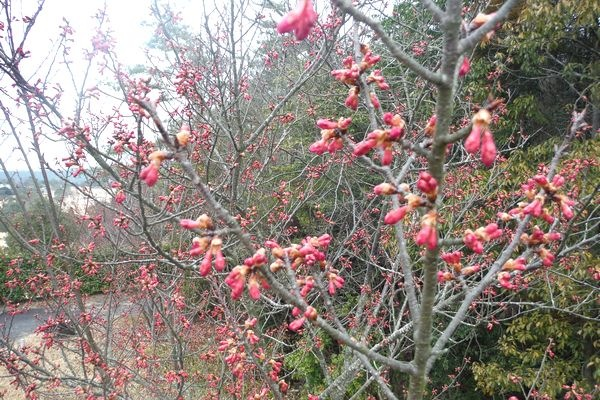 緋寒桜=寒緋桜