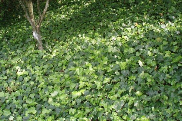 ヘデラの植栽