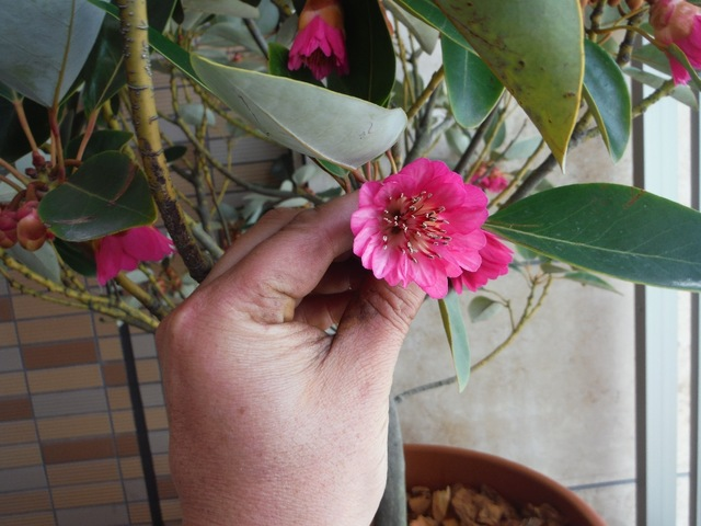 ロドレイア開花しました。